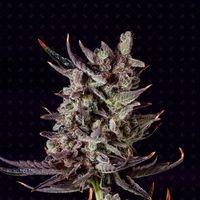 Purple Haze Auto Feminised Cannabis Seeds