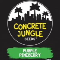 Purple Pineberry Feminised | Concrete Jungle Seeds