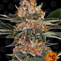 Purple Punch Feminised Cannabis Seeds | Barney's Farm