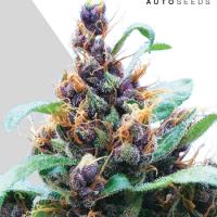Purple Stilton Autoflowering Feminised Cannabis Seeds   Auto Seeds
