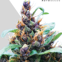 Purple Stilton Autoflowering Feminised Cannabis Seeds | Auto Seeds