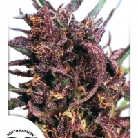 Purple #1 Feminised Cannabis Seeds | Dutch Passion