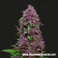 Purple Mazar Auto Feminised Cannabis Seeds   Kalashnikov Seeds