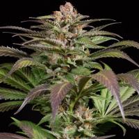 Purps #1 Feminised Cannabis Seeds - Dinafem Seeds