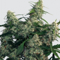 Quasar Feminised Cannabis Seeds | Buddha Seeds