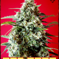 Red Star Feminised Cannabis Seeds | Rockwell Seeds