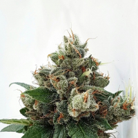 Respect 4 Gorilla Feminised Cannabis Seeds | Expert Seeds