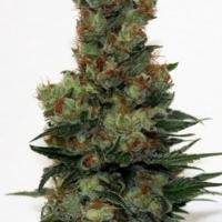 Badazz Feminised Cannabis Seeds