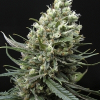 Ripper Haze Feminised Cannabis Seeds