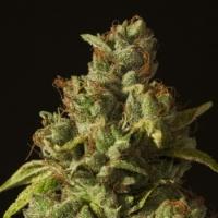 Rollex OG Kush Regular Cannabis Seeds   Devil's Harvest Seeds