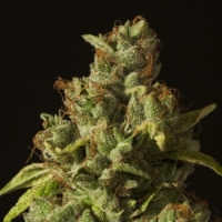 Rollex OG Kush Feminised Cannabis Seeds | Devil's Harvest Seeds