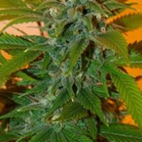 Romberry Regular Cannabis Seeds | Freedom of Seeds