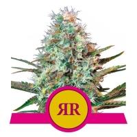 Royal Runtz Feminised Cannabis Seeds   Royal Queen Seeds