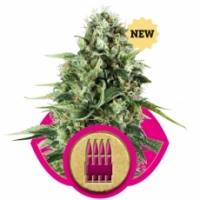 Royal AK Feminised Cannabis Seeds | Royal Queen Seeds