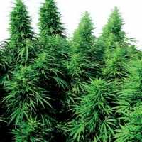 Ruderalis Skunk Regular Cannabis Seeds | Sensi Seeds