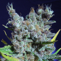 Runtz Gum Feminised Cannabis Seeds | Original Sensible Seeds