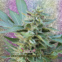 S&M Feminised Cannabis Seeds | Dr Krippling