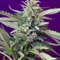 S.A.D. Automatic Feminised Cannabis Seeds | Sweet Seeds
