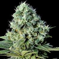 Santa Bilbo Feminised Cannabis Seeds