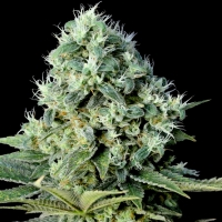 Santa Bilbo Feminised Cannabis Seeds