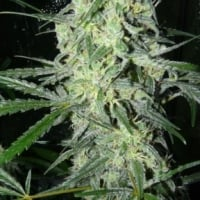 SexBud Feminised Cannabis Seeds | Female Seeds