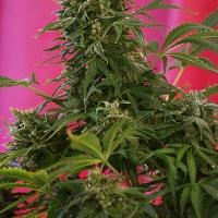 Snow Fruit Feminised Cannabis Seeds | Sweet Seeds