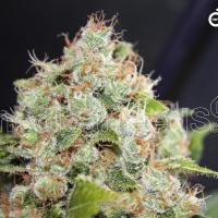 BCN Sour Diesel Feminised Cannabis Seeds | Medical Seeds