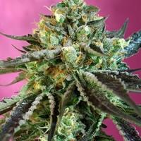 Sweet Nurse Auto Feminised Cannabis Seeds | Sweet Seeds