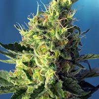 Sweet Pure CBD Feminised Cannabis Seeds | Sweet Seeds
