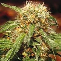 Sweet Tai Feminised Cannabis Seeds | Sweet Seeds