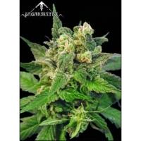 Matanuska Mist Regular Cannabis Seeds   Sagarmatha Seeds