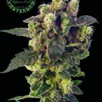 Blue Thunder Regular Cannabis Seeds | Sagarmatha Seeds