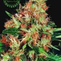 Mangolian Indica Regular Cannabis Seeds   Sagarmatha Seeds