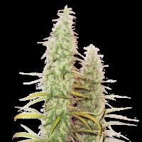 Santa Marta Haze Auto Feminised Cannabis Seeds   Seed Stockers