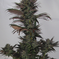 Northern Flame Regular Cannabis Seeds | Secret Valley
