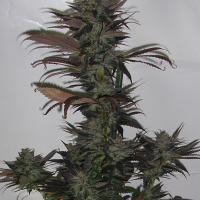 Northern Flame Regular Cannabis Seeds | Secret Valley