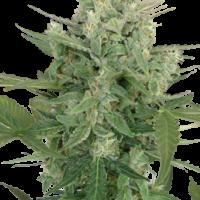 Lowdwarf Feminised Cannabis Seeds