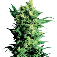 Shiva Shanti II Regular Cannabis Seeds | Sensi Seeds