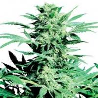 Shiva Skunk Feminised Cannabis Seeds | Sensi Seeds