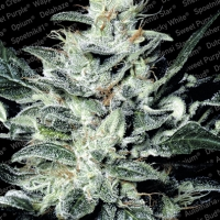 Sensi Star Feminised Cannabis Seeds | Paradise Seeds