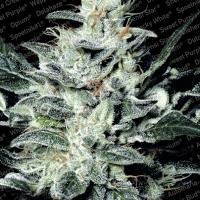 Sensi Star Feminised Cannabis Seeds | Paradise Seeds