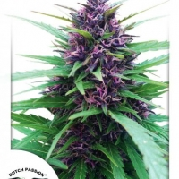 Shaman Regular Cannabis Seeds | Dutch Passion