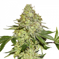 Sherbet Feminised Cannabis Seeds | Seed Stockers