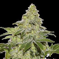 Sherbet Auto Feminised Cannabis Seeds | Seed Stockers