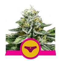 Sherbet Queen Feminised Cannabis Seeds | Royal Queen Seeds