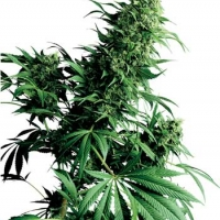 Shiva Shanti Regular Cannabis Seeds | Sensi Seeds