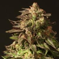 Shoreline Feminised Cannabis Seeds   Devil's Harvest Seeds