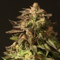 Shoreline Feminised Cannabis Seeds | Devil's Harvest Seeds