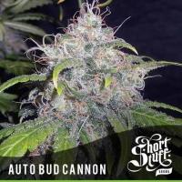 Auto Bud Cannon Feminised Cannabis Seed | Shortstuff Seeds
