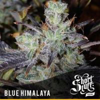 Blue Himalaya Feminised Cannabis Seeds   Shortstuff Seeds